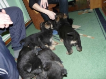 many puppies