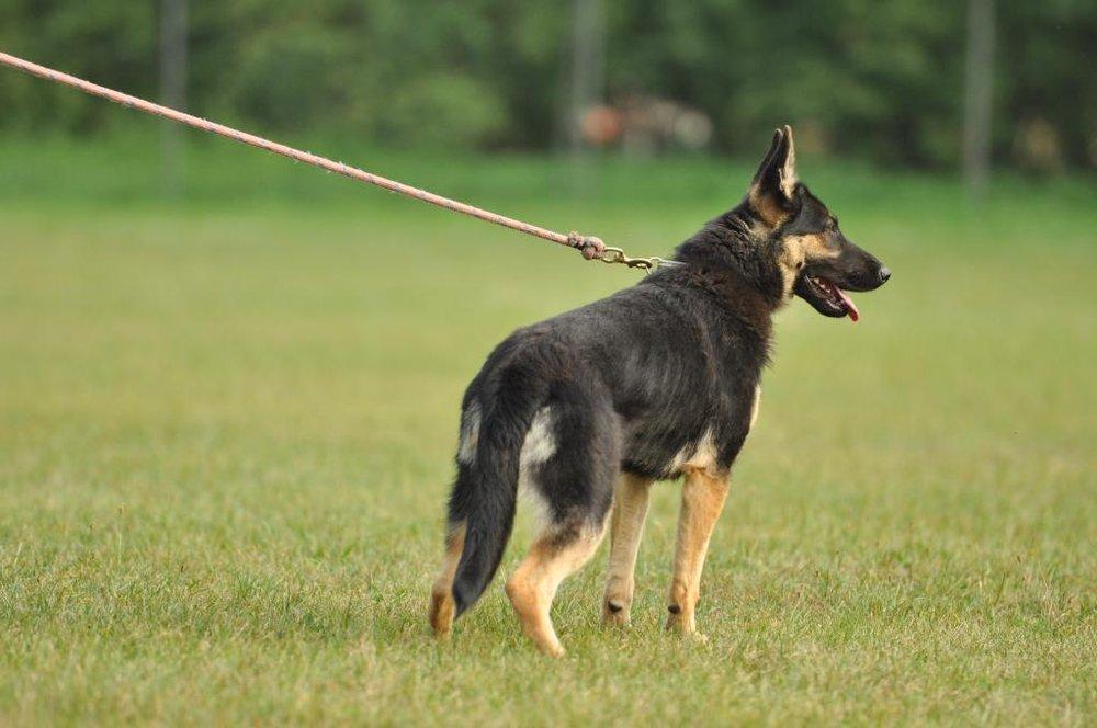 11 months female dog photo 2 working german shepherds breeding napor