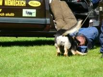 chasso-niox-bite-napor-german-shepherd-working- breding