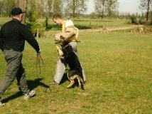 dog-attack-photo-7-working-german-shepherd breeding-napor
