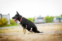 aiko-schwarze-einigkeit-fotografia-3-pies-hodowla-uzytkowych-owczarkow-niemieckich-napor