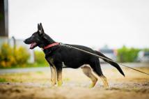 aiko-schwarze-einigkeit-fotografia-4-pies-hodowla-uzytkowych-owczarkow-niemieckich-napor