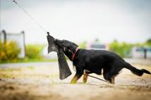 arosa-schwarze-einigkeit-fotografia-4-pies-hodowla-uzytkowych-owczarkow-niemieckich-napor