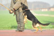 idol-zur-krombach-fotografia-02-reproduktor-pies-hodowla-uzytkowych-owczarkow-niemieckich-napor