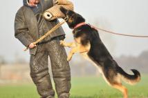 idol-zur-krombach-fotografia-05-reproduktor-pies-hodowla-uzytkowych-owczarkow-niemieckich-napor