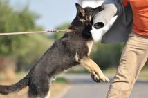 atos-napor-w-wieku-10 miesiecy-podczas-szkolenia-z-obrony-obecnie-w-k-9 policji-w-USA