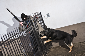 Thief - protection of property by german shepherd from Napór breeding