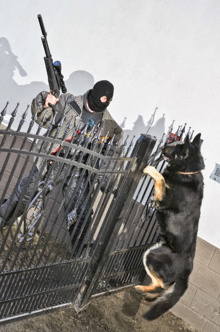 Guarding the property from potential thieves by the dog from working german shepherd breeding Napór