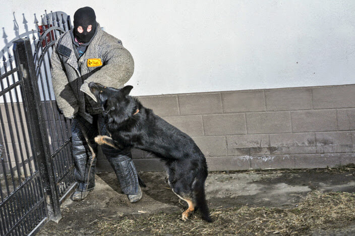 Attack on the potential burglar by dog from Working German Shepherd Breeding Napór