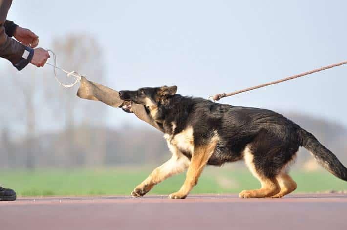 Falko - owczarek niemiecki - 6 miesięcy - sprzedaż psów - hodowla użytkowych owczarków niemieckich