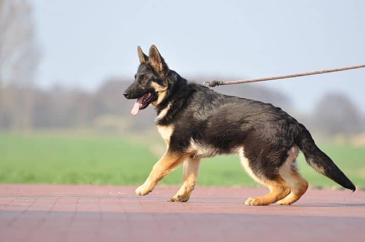 falko-owczarek-niemiecki-6-miesiecy-zdjecie-2-sprzedaz-psow-hodowla-napor