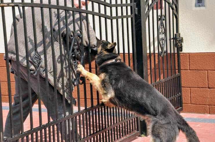 alan-pies-fotografia-1-hodowla-uzytkowych-owczarkow-niemieckich