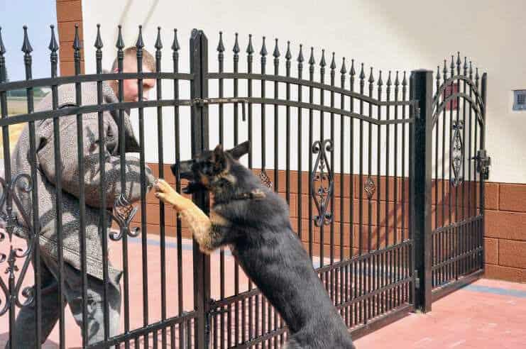 alan-pies-fotografia-2-hodowla-uzytkowych-owczarkow-niemieckich