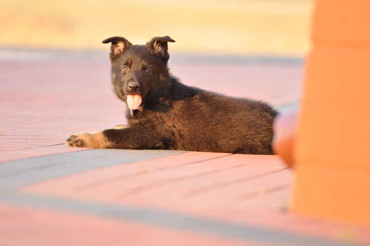 szczeniak-na-sprzedaz-w-wieku-7-tygodni-fotografia-2-hodowla-uzytkowych-owczarkow-niemieckich-napor