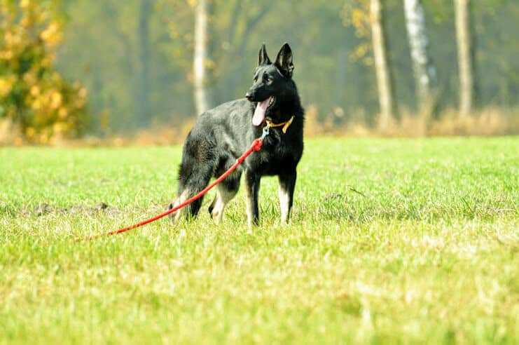 bad-napor-owczarek-niemiecki-uzytkowy-pies-strozujacy-1