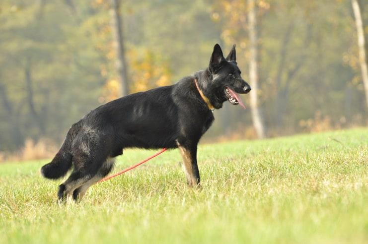 bad-napor-owczarek-niemiecki-uzytkowy-pies-strozujacy-2
