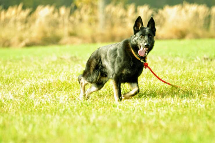 bad-napor-owczarek-niemiecki-uzytkowy-pies-strozujacy-3
