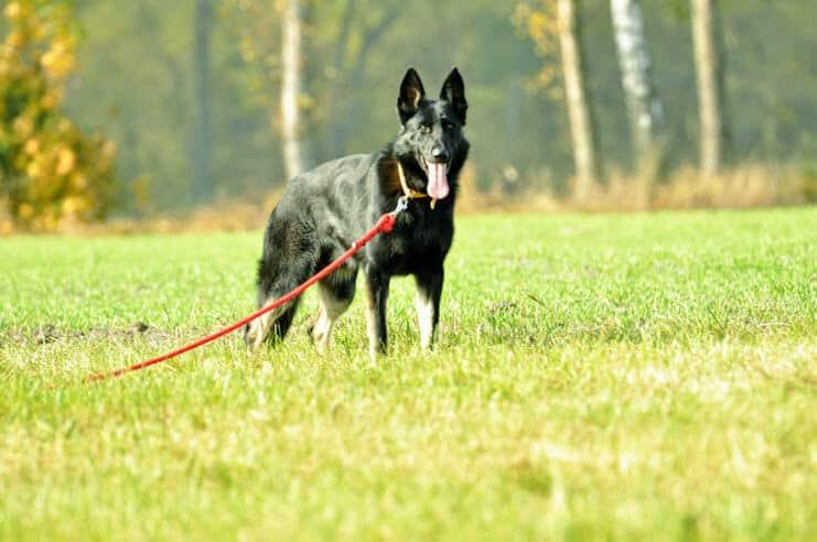 bad-napor-owczarek-niemiecki-uzytkowy-pies-strozujacy-6