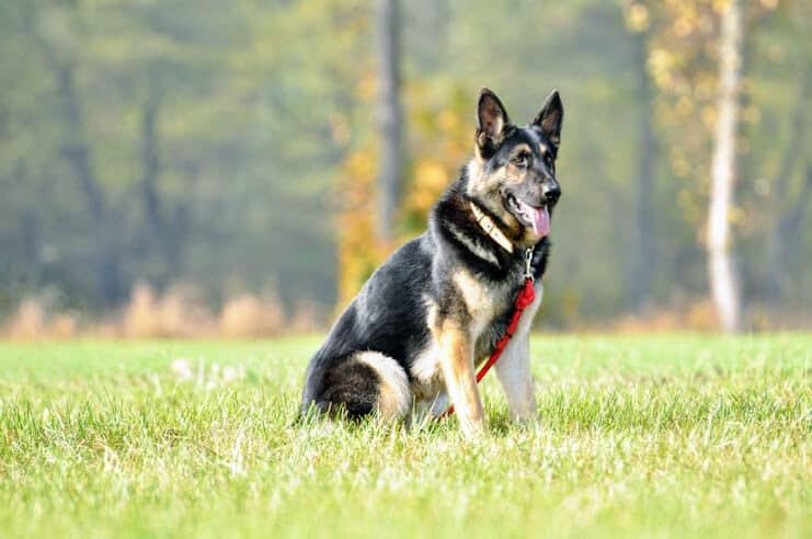 grom-napor-owczarek-niemiecki-uzytkowy-pies-strozujacy-1