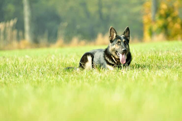 grom-napor-owczarek-niemiecki-uzytkowy-pies-strozujacy-4