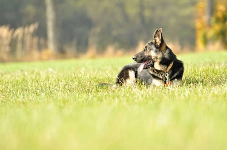 grom-napor-owczarek-niemiecki-uzytkowy-pies-strozujacy-5