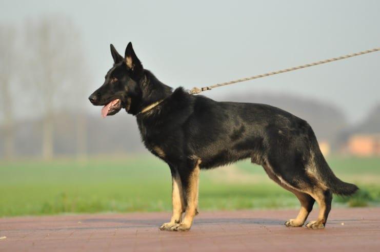 atos-pies-fotografia-01-hodowla-uzytkowych-owczarkow-niemieckich