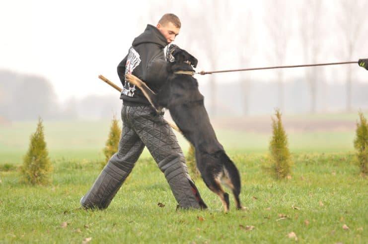atos-pies-fotografia-02-hodowla-uzytkowych-owczarkow-niemieckich