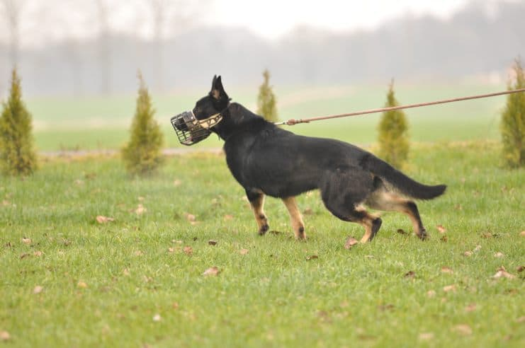 atos-pies-fotografia-03-hodowla-uzytkowych-owczarkow-niemieckich
