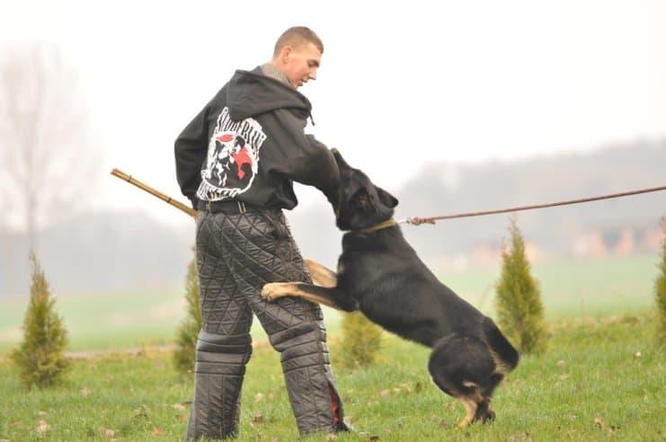 atos-pies-fotografia-04-hodowla-uzytkowych-owczarkow-niemieckich