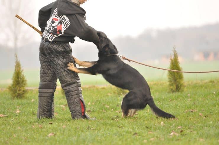atos-pies-fotografia-05-hodowla-uzytkowych-owczarkow-niemieckich