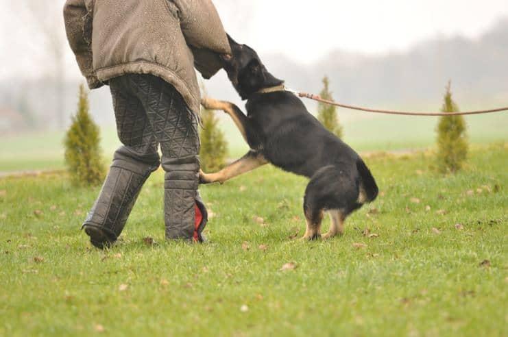 atos-pies-fotografia-06-hodowla-uzytkowych-owczarkow-niemieckich