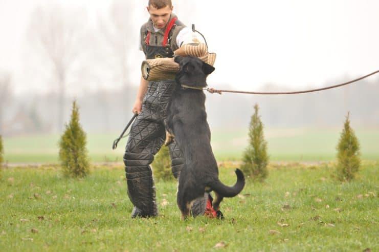 atos-pies-fotografia-07-hodowla-uzytkowych-owczarkow-niemieckich