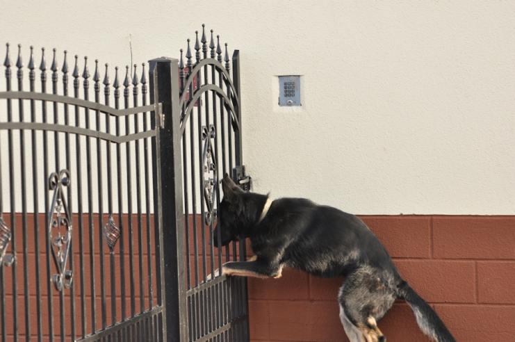 atos-pies-fotografia-08-hodowla-uzytkowych-owczarkow-niemieckich