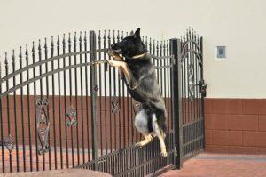 atos-pies-fotografia-09-hodowla-uzytkowych-owczarkow-niemieckich