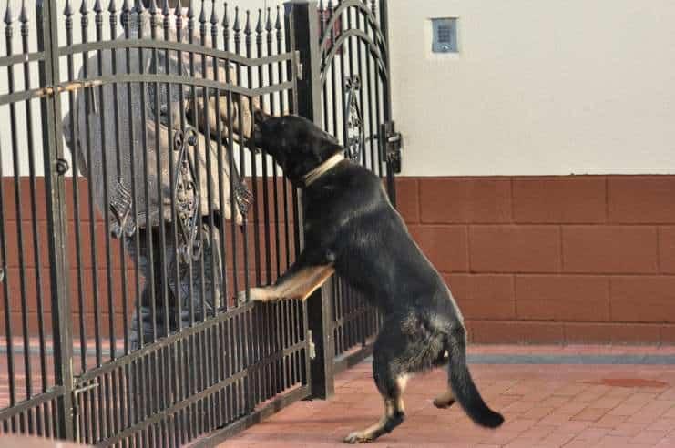 atos-pies-fotografia-10-hodowla-uzytkowych-owczarkow-niemieckich