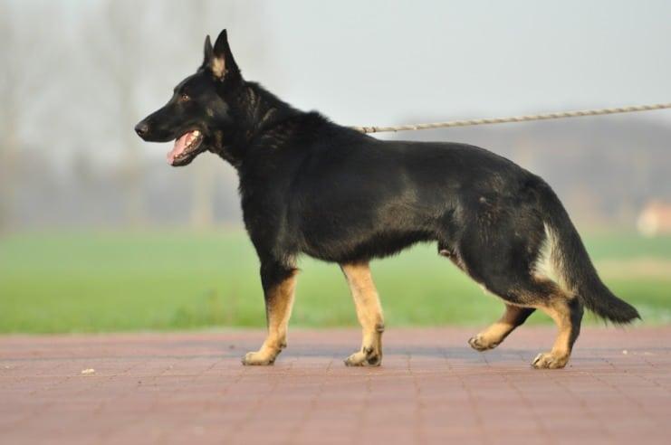 atos-pies-fotografia-11-hodowla-uzytkowych-owczarkow-niemieckich