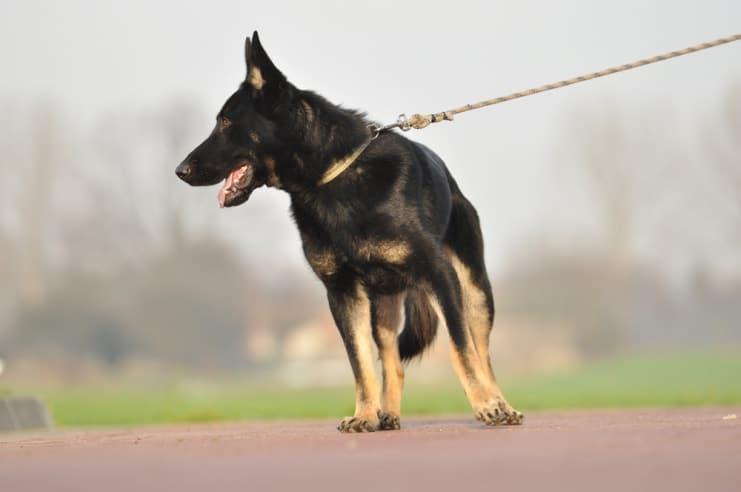 atos-pies-fotografia-12-hodowla-uzytkowych-owczarkow-niemieckich