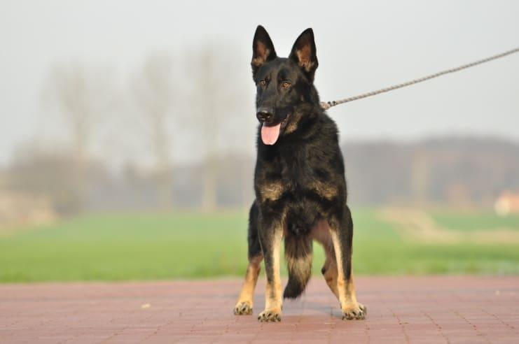 atos-pies-fotografia-13-hodowla-uzytkowych-owczarkow-niemieckich