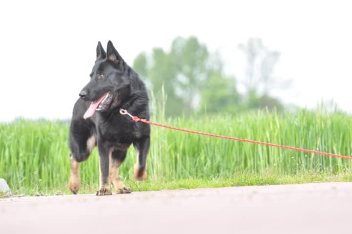 edi-napor-pies-zdjecie-07-hodowla-uzytkowych-owczarkow-niemieckich
