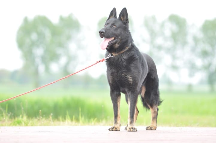 edi-napor-pies-zdjecie-08-hodowla-uzytkowych-owczarkow-niemieckich