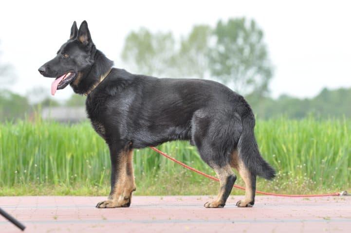 edi-napor-pies-zdjecie-09-hodowla-uzytkowych-owczarkow-niemieckich
