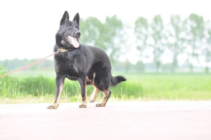 edi-napor-pies-zdjecie-10-hodowla-uzytkowych-owczarkow-niemieckich