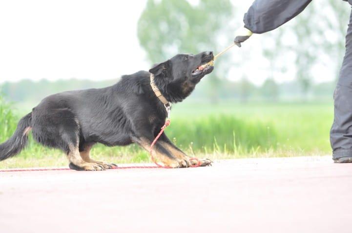edi-napor-pies-zdjecie-11-hodowla-uzytkowych-owczarkow-niemieckich