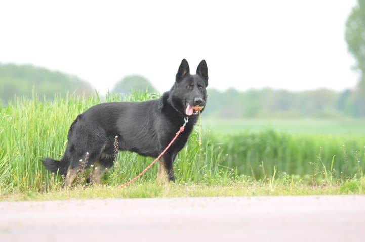 edi-napor-pies-zdjecie-12-hodowla-uzytkowych-owczarkow-niemieckich