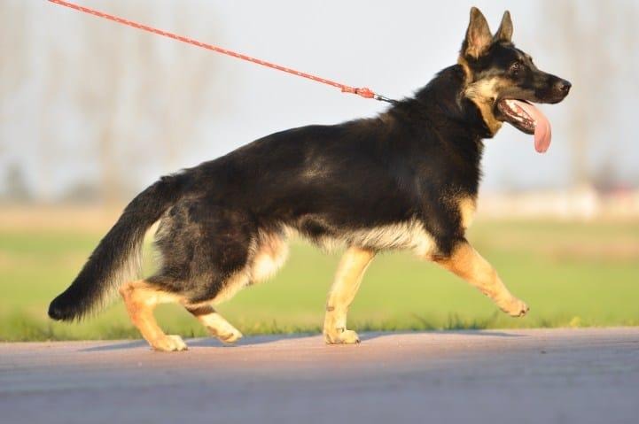 okia-napor-pies-02-hodowla-uzytkowych-owczarkow-niemieckich