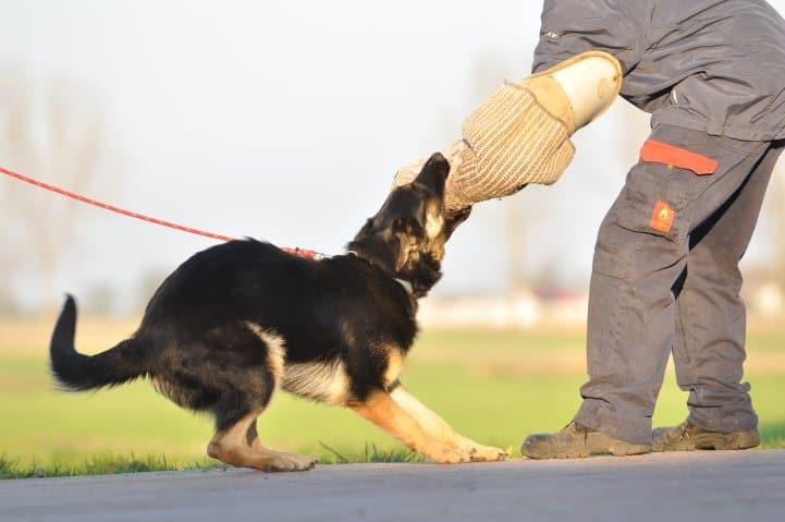 okia-napor-pies-04-hodowla-uzytkowych-owczarkow-niemieckich
