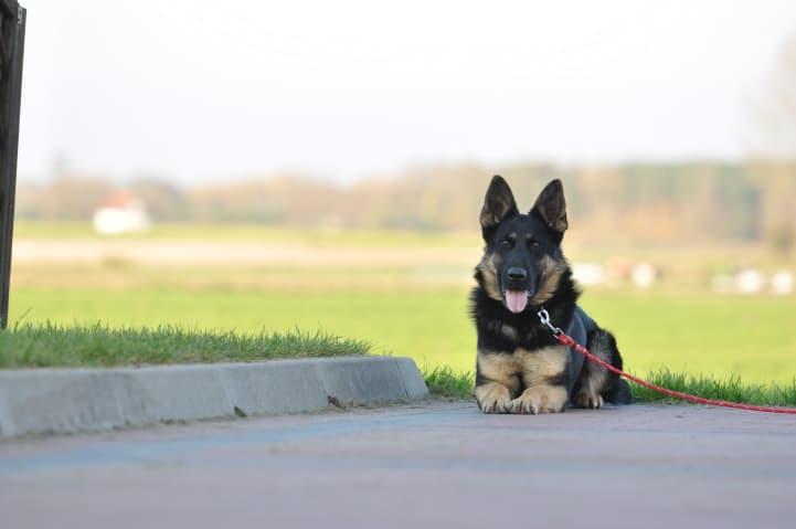 okia-napor-pies-06-hodowla-uzytkowych-owczarkow-niemieckich