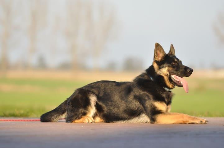 okia-napor-pies-07-hodowla-uzytkowych-owczarkow-niemieckich