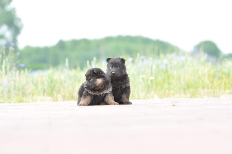 szczeniaki-po-hani-napor-i-Idolu-zur-Krombach-fotografia-05-hodowla-uzytkowych-owczarkow-niemieckich-napor