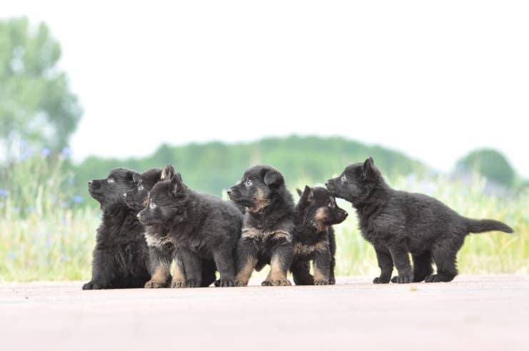 szczeniaki-po-karmen-napor-i-ron-napor-fotografia-05-hodowla-uzytkowych-owczarkow-niemieckich-napor